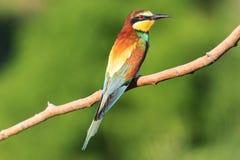 Birdy - Regenbogen sitzt auf einem Niederlassungsgrünhintergrund Stockbilder