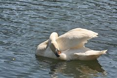 A Preening Swan on Blue Water royalty free stock photography