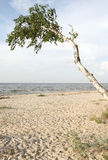 Birke auf dem Strand. Stockfoto