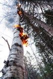 Birke auf Feuer nachher nach einem Blitz Stockfotos