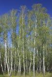 Birke auf Hintergrund des blauen Himmels im Vorfrühling Lizenzfreies Stockfoto