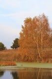 Birke auf Ufer von kleinem Teich Stockfotografie