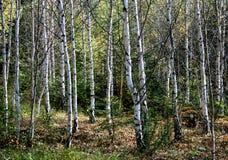 Birke-Bäume Stockbild