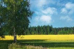 Birke-Baum und Feld von Raps Stockbild