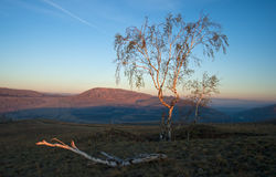 Birke bei Sonnenaufgang stockfoto