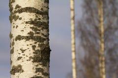 Birke, Betula Pendula Lizenzfreies Stockfoto