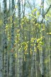 Birke breitet sich im Frühjahr Holz aus Lizenzfreies Stockbild