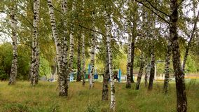Birke Grove im Stadtpark Lizenzfreies Stockbild
