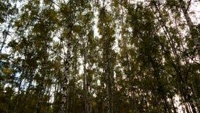 Birke Grove im Stadtpark Stockfotos