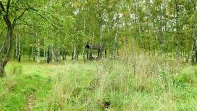 Birke Grove im Stadtpark Stockbilder