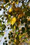 Birke am Herbst Änderung der Jahreszeit des Jahres Lizenzfreie Stockfotos