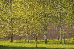 Birke im Frühjahr lizenzfreies stockfoto