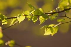 Birke im Frühjahr stockbild