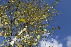 Birke im Herbst. Stockfotografie