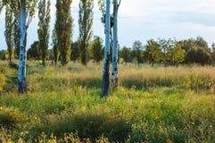 Birke im Park Lizenzfreies Stockfoto