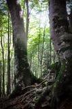 Birke im Unterholz von Cirier Lizenzfreie Stockfotografie