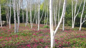 Birke ist ein dünn-leaved laubwechselnder Hartholzbaum der Klasse Birke/ˈbÉ› tjÊŠlÉ™/ stockbild
