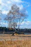 Birke an Land. Lizenzfreie Stockbilder