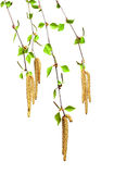Birke mit Blättern Stockfotografie