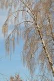 Birke mit gefrorenen Niederlassungen auf einem klaren Hintergrund des blauen Himmels des Winters Lizenzfreie Stockfotos