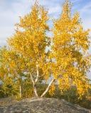 Birke mit zwei Herbsten gegen den Himmel Stockfoto