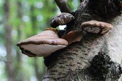 Birke polypore, Piptoporus-betulinus, wachsend auf einem Baumstamm im Wald Lizenzfreie Stockfotos