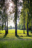 Birke Sun-Gras Lizenzfreies Stockbild