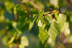 Birke treibt im Sonnenlicht Blätter Stockfotos