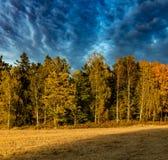 Birke und conifeourous Wald im autum mit drastischem Himmel Stockfotografie