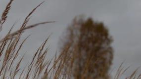 Birke und Gras im Fall stock footage