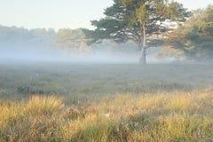 Birke und Kieferumarmung im Morgensonnenlicht stockfoto