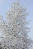 Birke unter dem Hoar-frost Lizenzfreie Stockfotografie