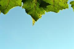 Birke verlässt gegen einen Hintergrund des klaren Himmels stockfoto