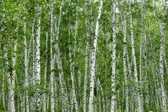 Birken Stockbilder