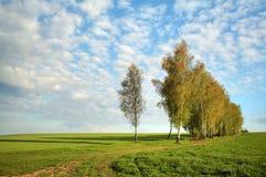 Birken Lizenzfreies Stockfoto