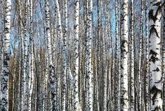 Birken auf blauem Himmel Stockbild