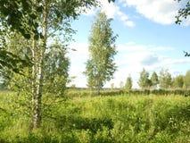 Birken auf dem Gebiet, Mai Stockbild