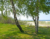 Birken auf der Bank der Ostsee am sonnigen Tag des Sommers Stockbild