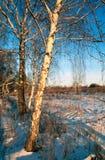 Birken auf einem Sonnenuntergang Lizenzfreie Stockbilder