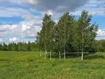 Birken auf einem Wind Lizenzfreie Stockfotos