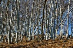 Birken auf einer Steigung in die Berge Stockfotografie