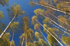 Birken auf Himmel Stockfoto