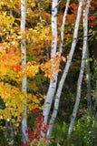 Birken-Bäume Lizenzfreies Stockbild