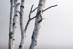 Birken-Bäume im Nebel Stockfotografie