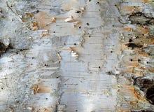 Birken-Barke Lizenzfreie Stockbilder