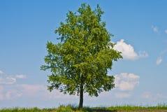 Birken-Baum Lizenzfreie Stockfotos