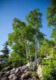 Birken-Baum Lizenzfreie Stockbilder