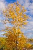 Birken-Baum in den Fall-Farben gegen einen blauen Himmel Lizenzfreies Stockfoto