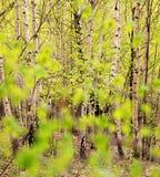 Birken-Baum-Wald Stockfoto
