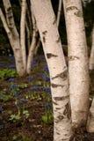 Birken-Bäume Lizenzfreie Stockbilder